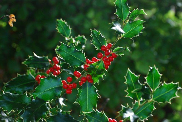 Agrifoglio: Coraggio è Natale